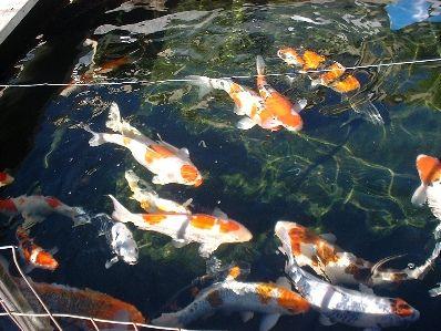 Koi Wikipedia The Free Encyclopedia Koi Buy Koi Fish Koi Pond