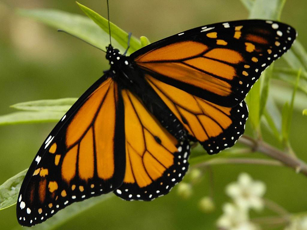 free Monarch Butterfly wallpaper wallpapers download