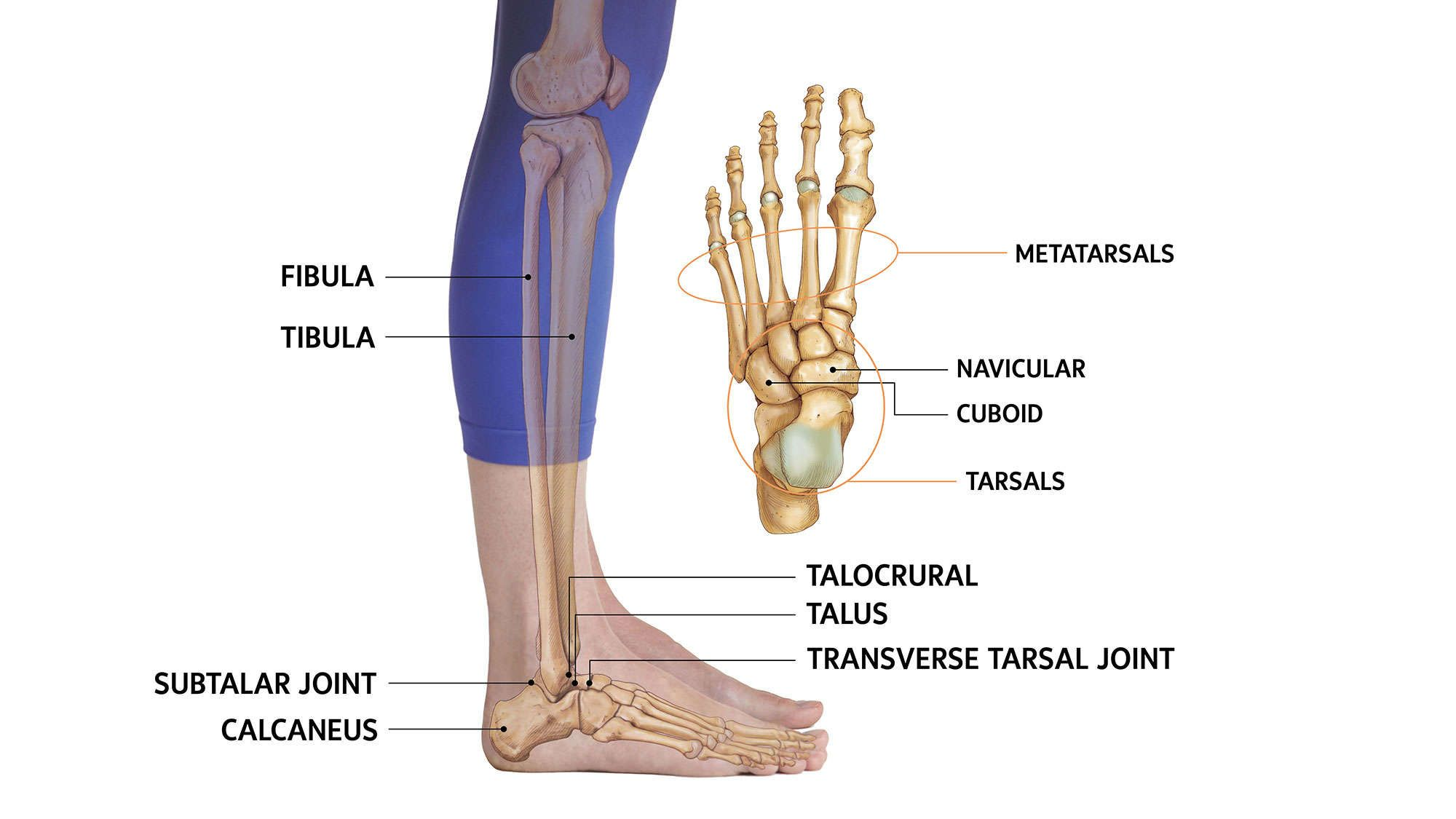Anatomy 101 Get To Know The Ankle Joint Ankle Joint