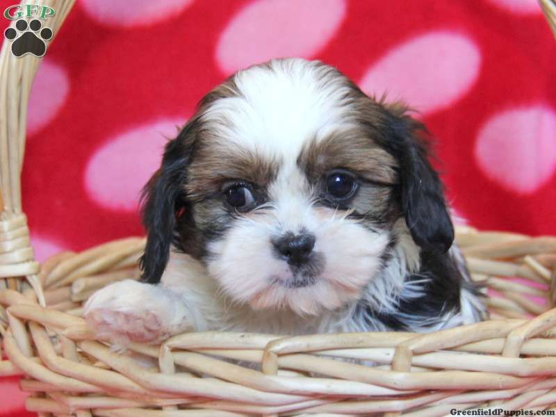 Todd Cava Tzu Puppy For Sale In Pennsylvania Puppies For Sale Puppies Dogs