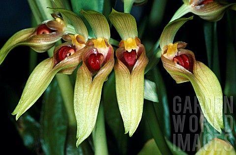 Orchid// Orchideen Bulbophyllum graveolens