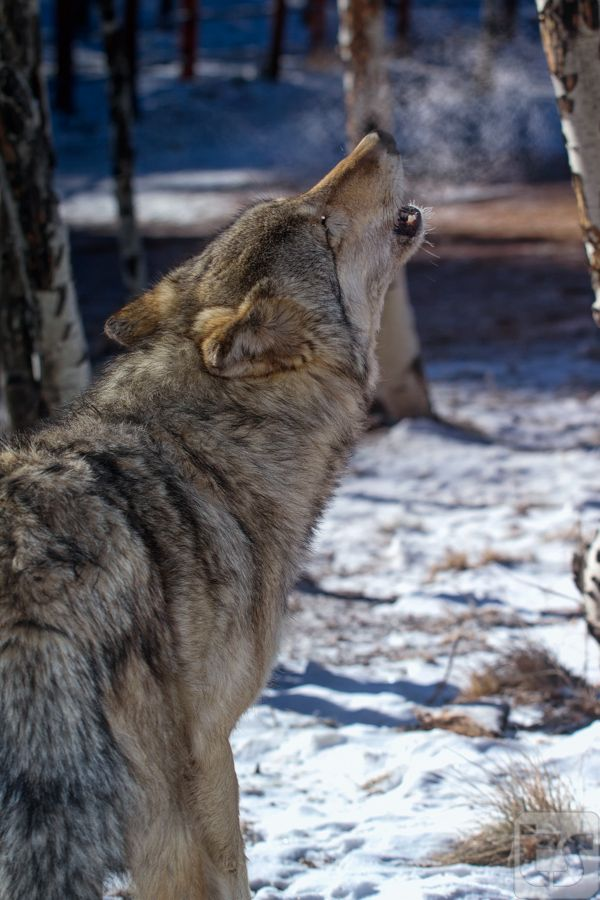 A female timber wolf is howls in the early, frigid, mooning seen in the frigid, sub-zero morning at the Colorado Wolf and Wildlife Sanctuary