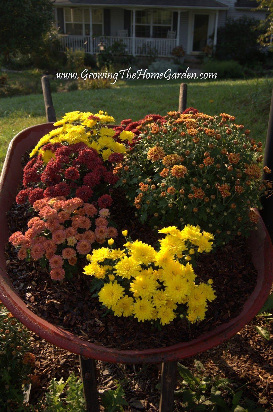 growing home garden mums