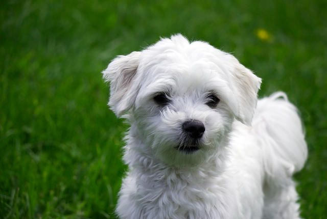 11 Spunky Facts About The Maltese Hypoallergenic Dog Breed Maltese Dog Breed Super Cute Dogs
