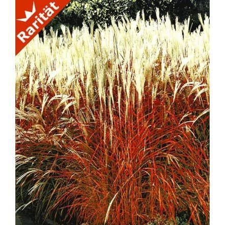 Chinaschilf u0027Red Chiefu0027, 1 Pflanze - BALDUR-Garten GmbH Gräser