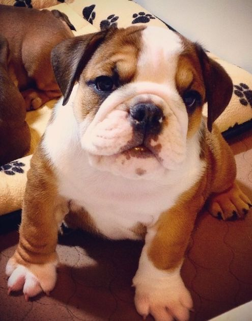 English Bulldog Puppy Cute Baby Animals Baby Animals Cute Animals