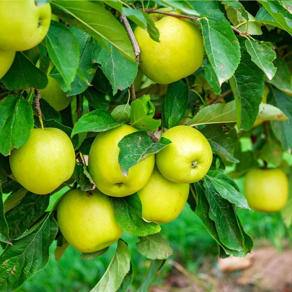 Mutsu (Crispin) Apple Tree | Apple tree, Fast growing trees, Fruit trees