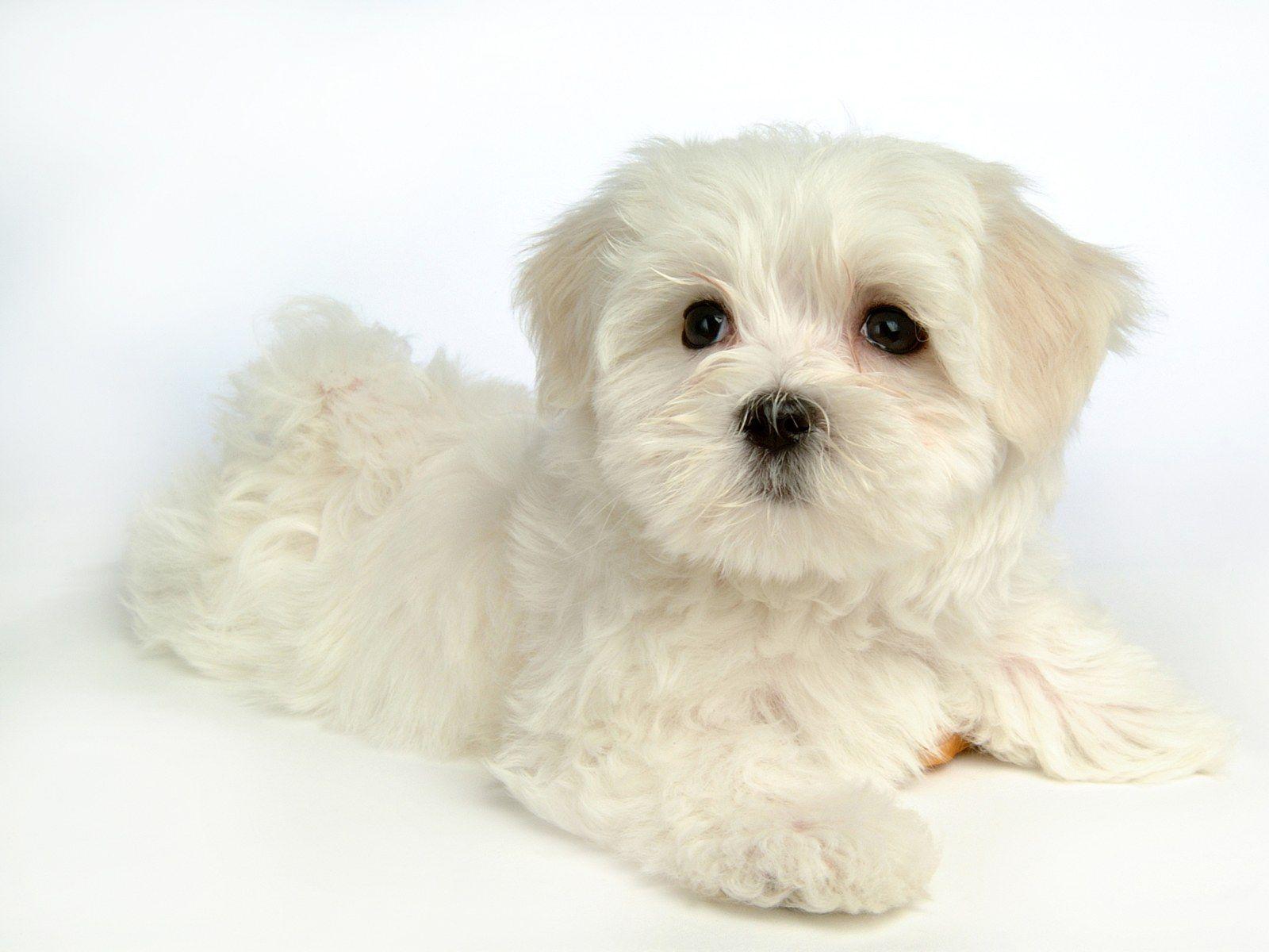 Maltese Dog Fluffy Puppy Dogs