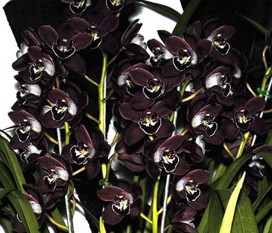 'Black Champion' Cymbidium Orchid