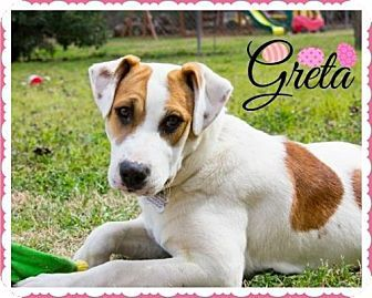Arlington Tx Hound Unknown Type Collie Mix Meet Greta A