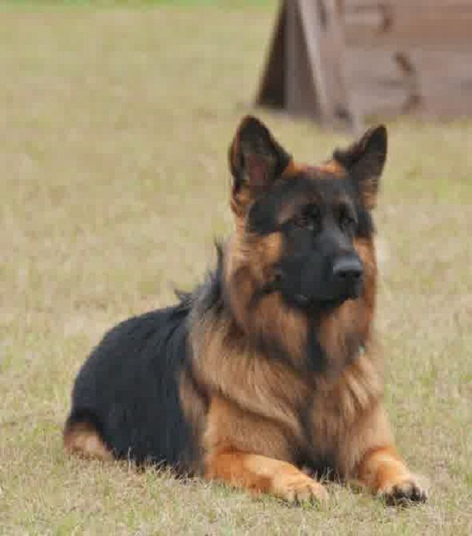 Scurity Long Coat German Shepherd Puppies Image