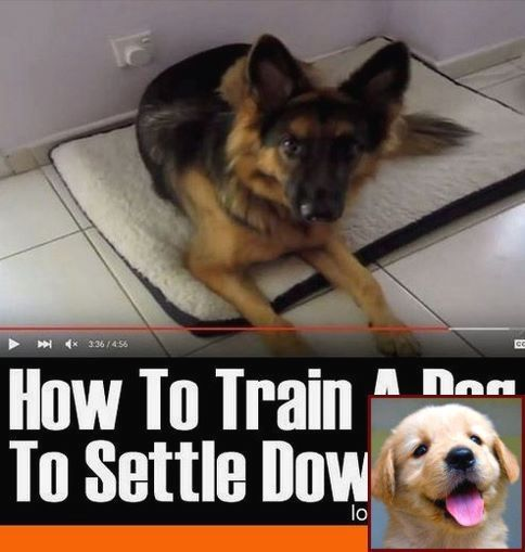 House Training Puppy Rubbing Nose and Dog Training Courses
