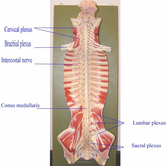 brachial plexus organ is ventral rami of C5-T1. cervical plexus is ...