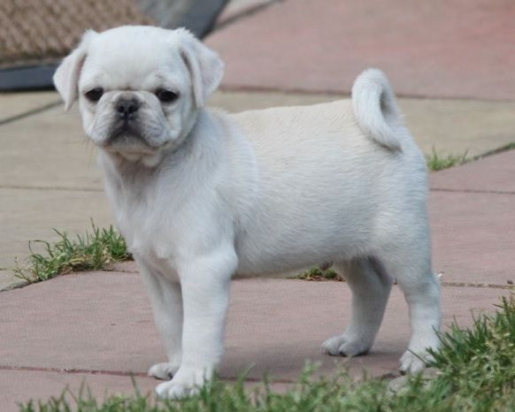 Cute White Pug Puppy With Images White Pug Puppies Pug Puppy