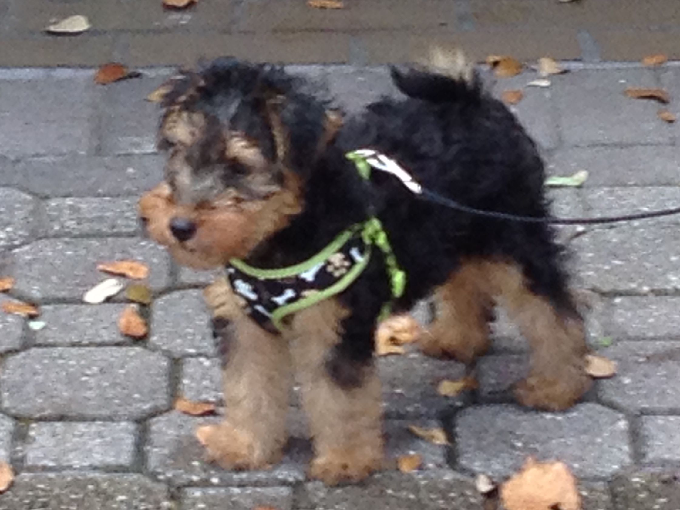 Baby Oliver His First Walk Puppies Welch Terrier Terrier