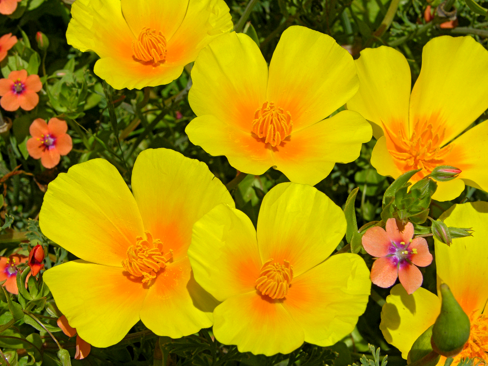 California Poppies on the central coast, and little Scarlet Pimpernels. Photo by John Gibson.