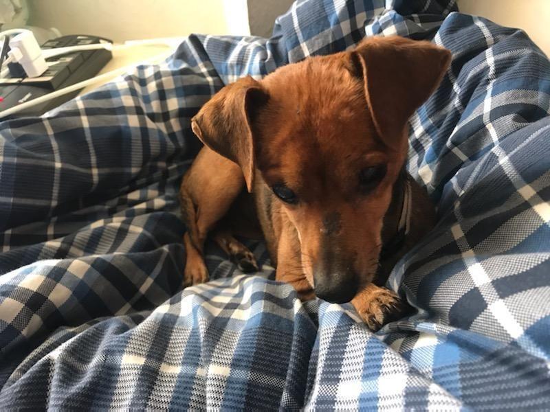 Adopt Daisy on Dachshund mix, Adoption, Pet adoption