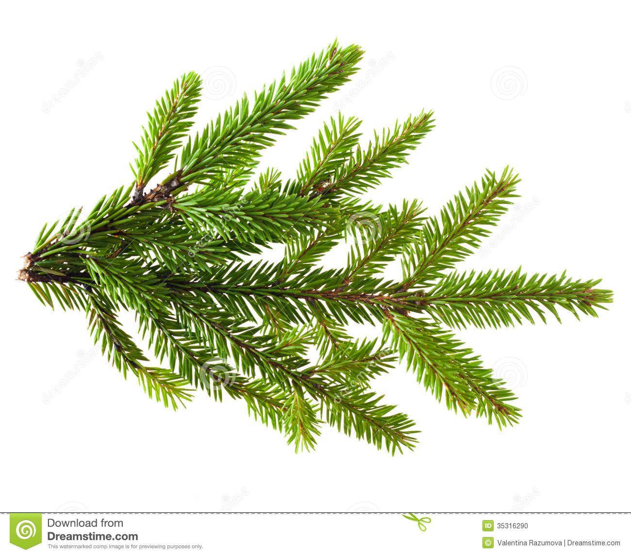 pine-tree-branch-isolated-white-35316290.jpg (1300×1147) | Pines ...
