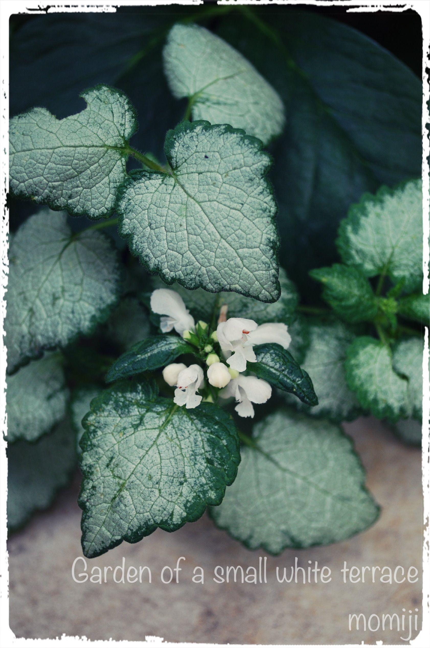 小さな白いテラスの庭 ☆まとめ☆ 5月に咲いたお花たち♪(´∪`●)ゝ 〜北側…日陰花壇編〜