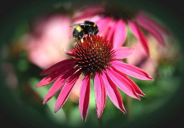 Bumblebee: Photo by Photographer Ori Millo - photo.net ...