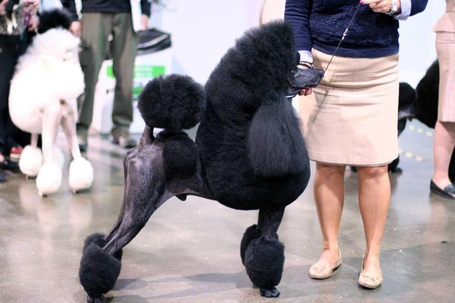 We Have A Long Line Of Akc Champion Poodles Akc Dog Shows