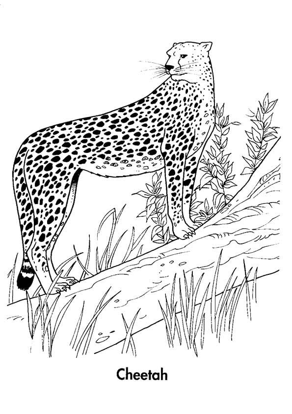 25 Best Cheetah Coloring Pages For Your Little Ones Coloring Pages Color Cheetah