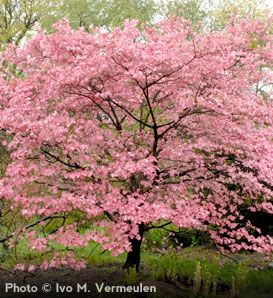 De Young Copper Bookmark Dogwood Trees Flowering Trees Dream Garden