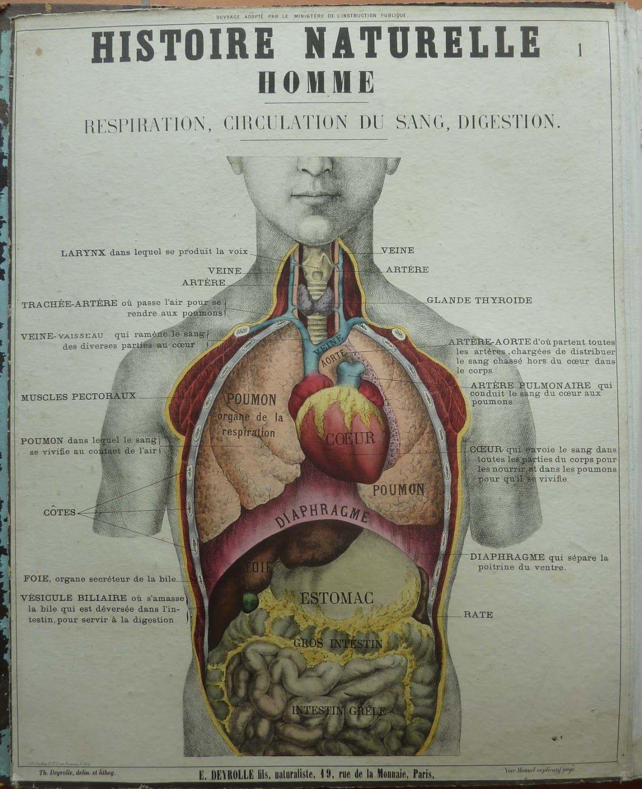 Deyrolle - Histoire Naturelle - Homme - Respiration / Circulation du ...
