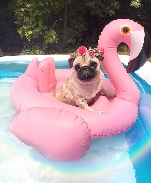 "Loulou the Pug on Instagram: ""Throwing it back to the sweet summer days by the pool"
