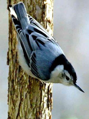 Michigan Bird Identification Flashcards By Proprofs Nuthatch Wild Birds Bird Pictures