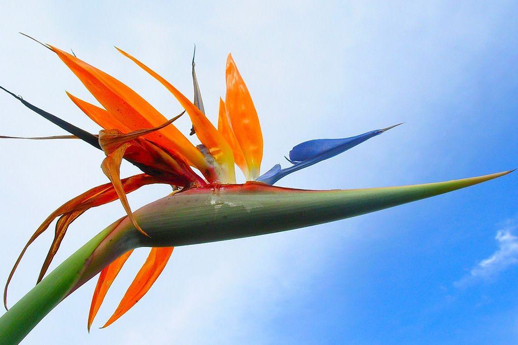 Oiseau Du Paradis Photo N N Figue Les Fleurs Pinterest