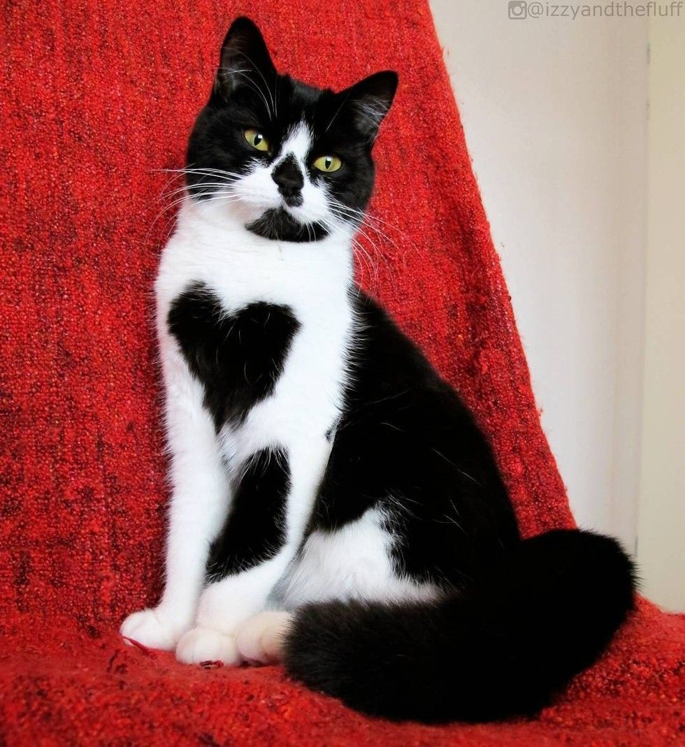 This Beautiful Tuxedo Cat Shows Her Human Love Every Day By Wearing Her Heart On Her Chest Meet Zoe The Cat Courtesy I Cats Cute Animal Pictures Animal Lover