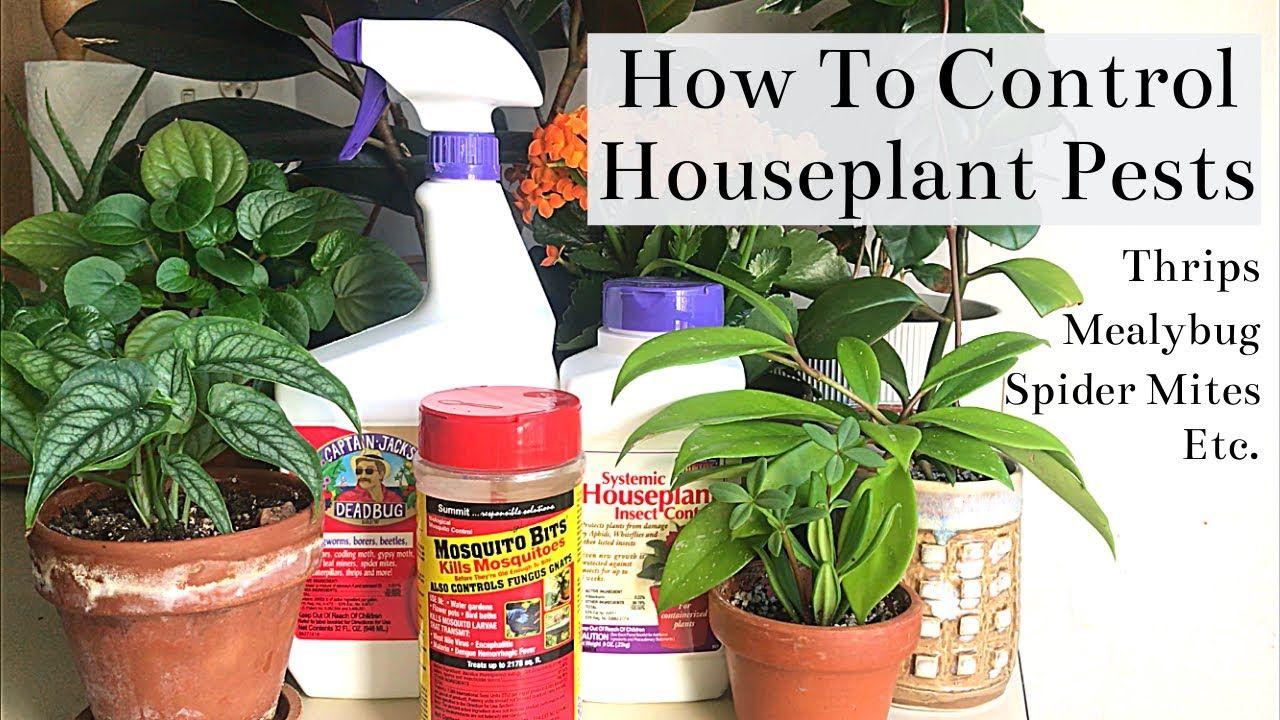 How To Control Houseplant Pests Spider Mites Thrips Mealybug Fungus Gnats Youtube Spider Mites Fungi Homemade Gnat Trap