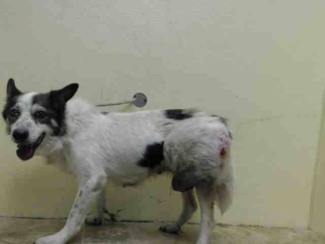 GONE --- SUPER URGENT 8/9/14 Brooklyn Center   NICOLA - A1009923 ***MASS ON HIND LEG***  FEMALE, WHITE / GRAY, AUST CATTLE DOG MIX, 14 yrs STRAY - STRAY WAIT, NO HOLD Reason STRAY  Intake condition DISEASE Intake Date 08/09/2014, From NY 11221, DueOut Date 08/12/2014,  https://www.facebook.com/Urgentdeathrowdogs/photos/pb.152876678058553.-2207520000.1407708753./852157858130428/?type=3&theater