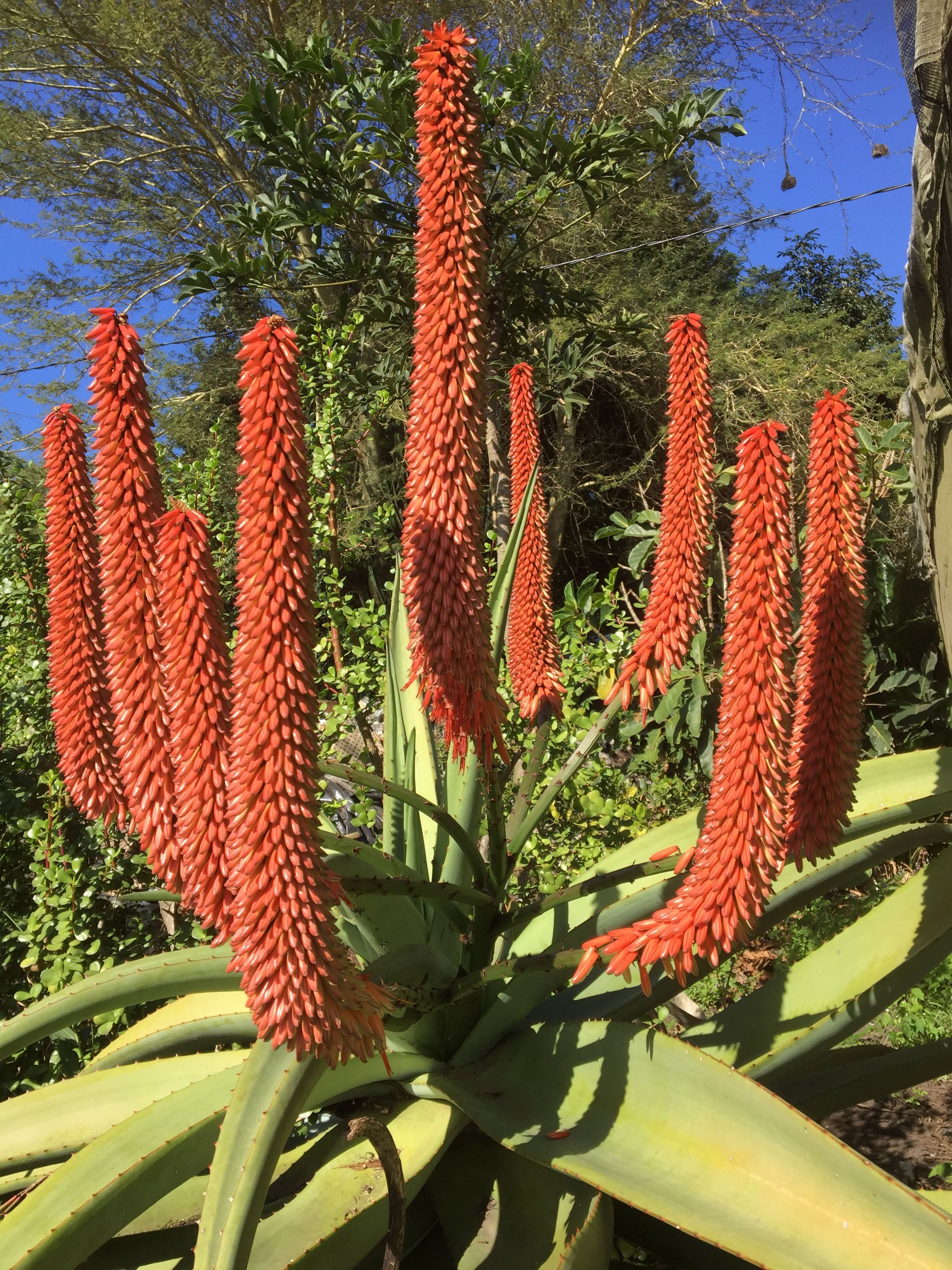 Stunning Candelabra Like Flower Spikes Of The Wonderous Bitter Or Red Aloe Aloe Ferox Flower Spike Succulents Flowers