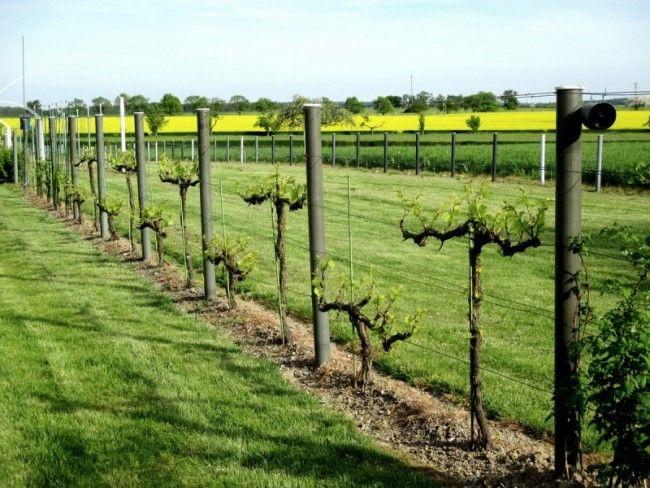 Bouturage de vigne sur palissage comment bouturer une vigne pinterest vignes la vigne et - Comment tailler une treille de raisin ...