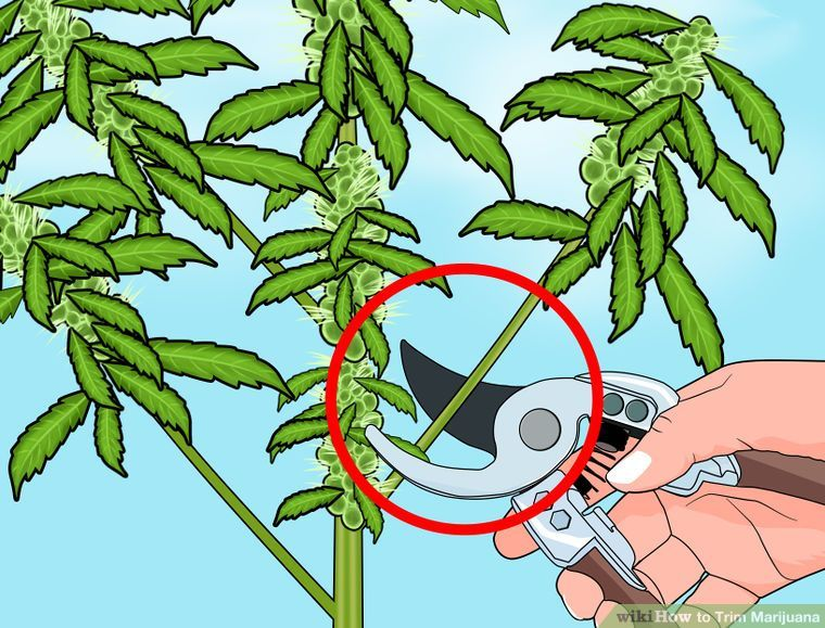 How To Trim Marijuana 7 Steps With Pictures Wikihow Growing
