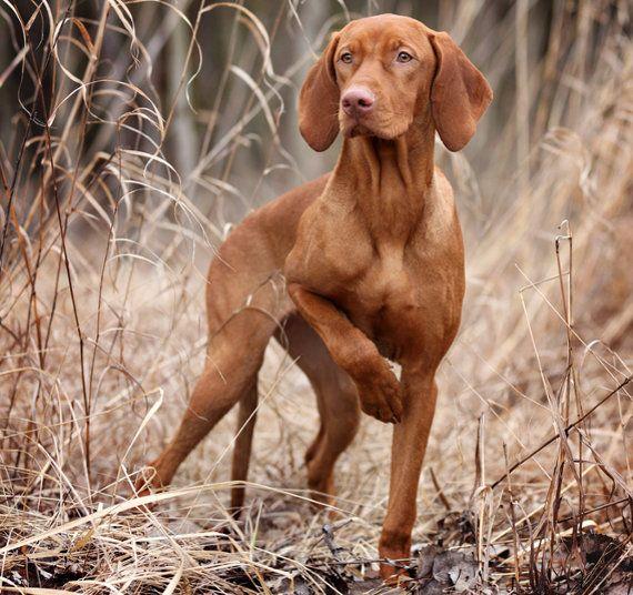 Magyar Vizsla Charakter Wesen Infos Zum Hund Futalis De Hunde Vizsla Hund Vizsla Welpen