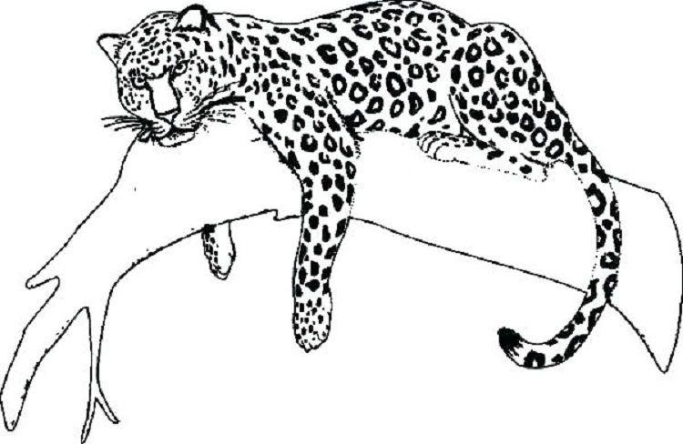 Jaguar Coloring Pages Free Jaguar Animal Pictures To Draw Animal Drawings