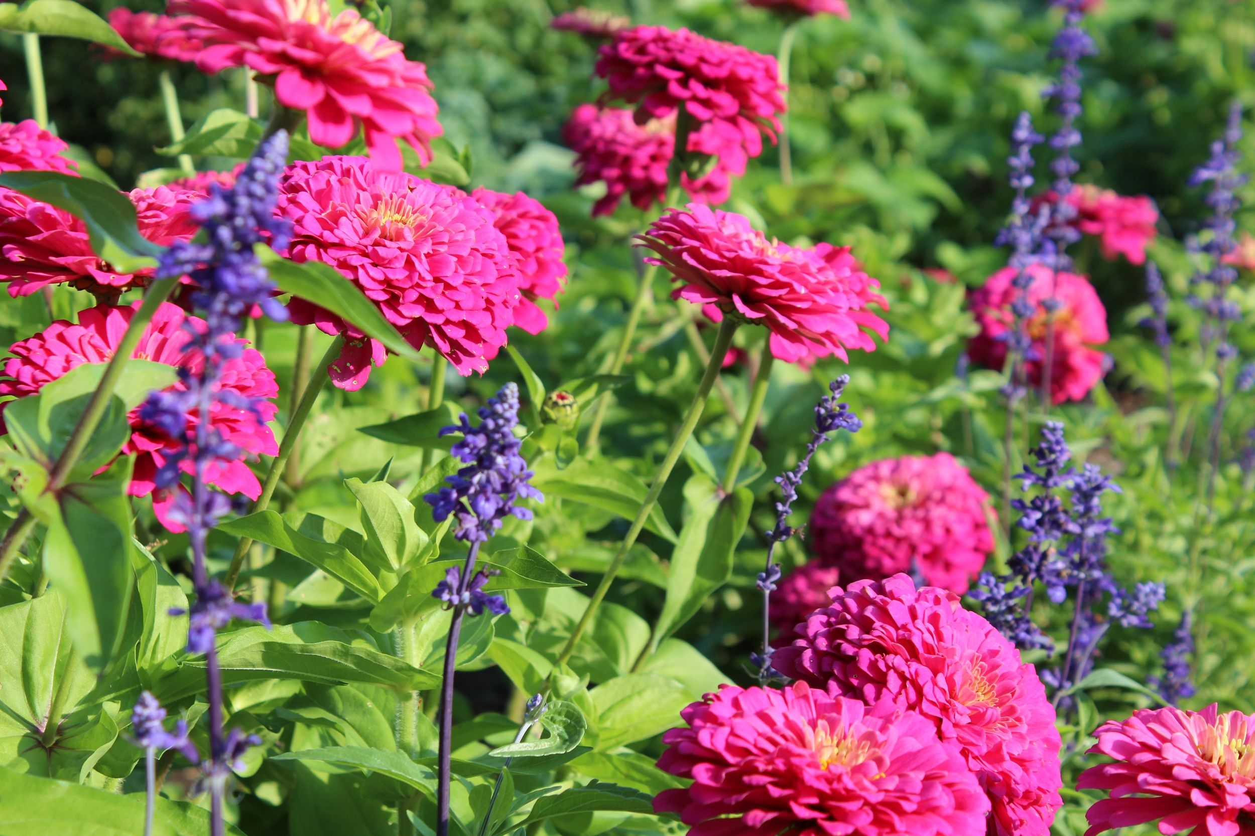 zinnias-and-salvia-blog.jpg (2500×1667)
