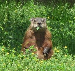 How to Get Rid of Ground Hogs Gardens How to get and Ground hog