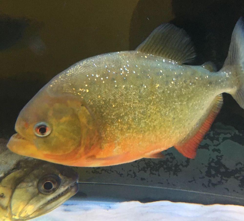 Red Belly Piranha 8?in Live Aquarium Fish | Breeding Pairs of