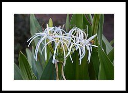 Crinum Asiaticum Giant White Spider Lily Framed Print by rd Erickson
