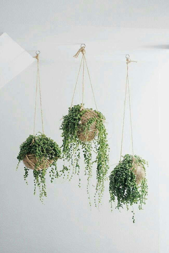 String Of Pearls Plant   Tips For Growing A Rosary String Of Beads Plant