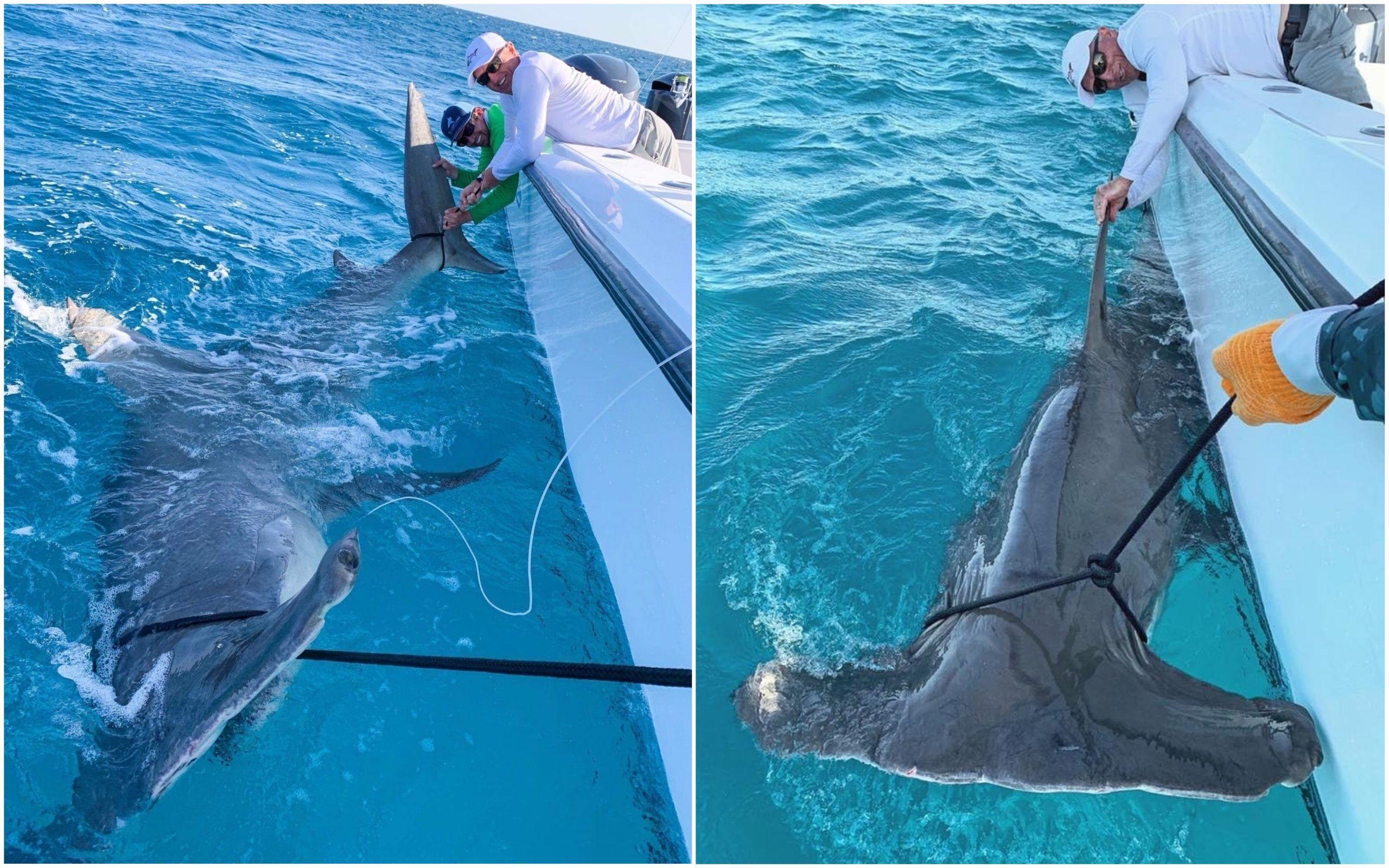 Golf Legend Greg Norman Catches Monster Hammerhead Shark After It Eats 80 Pound Hooked Shark Hammerhead Shark Shark Big Shark