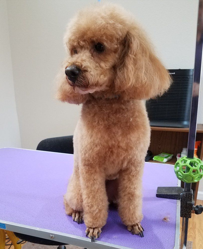 Pin On Poodle Baby Cuts