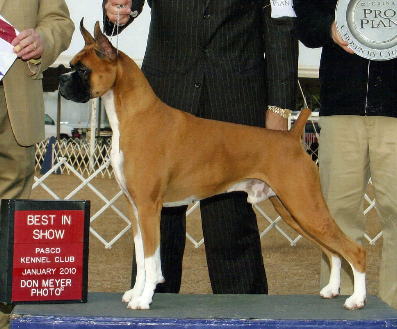 Boxer Energetic And Funny Boxer Dogs Boxer Love Every Dog Breed
