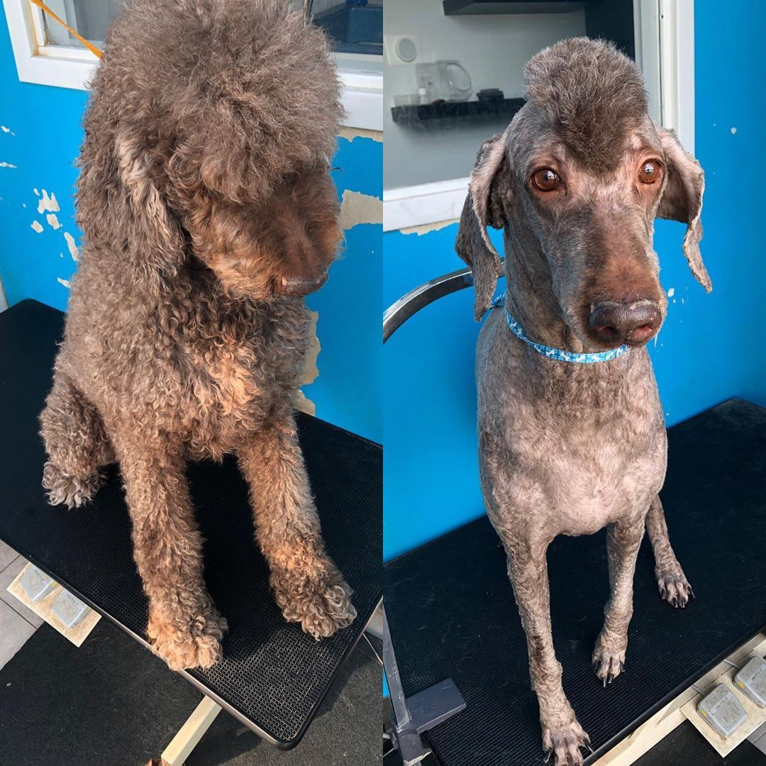 This Is Quincy The Coolest Poodle You Know Doggrooming