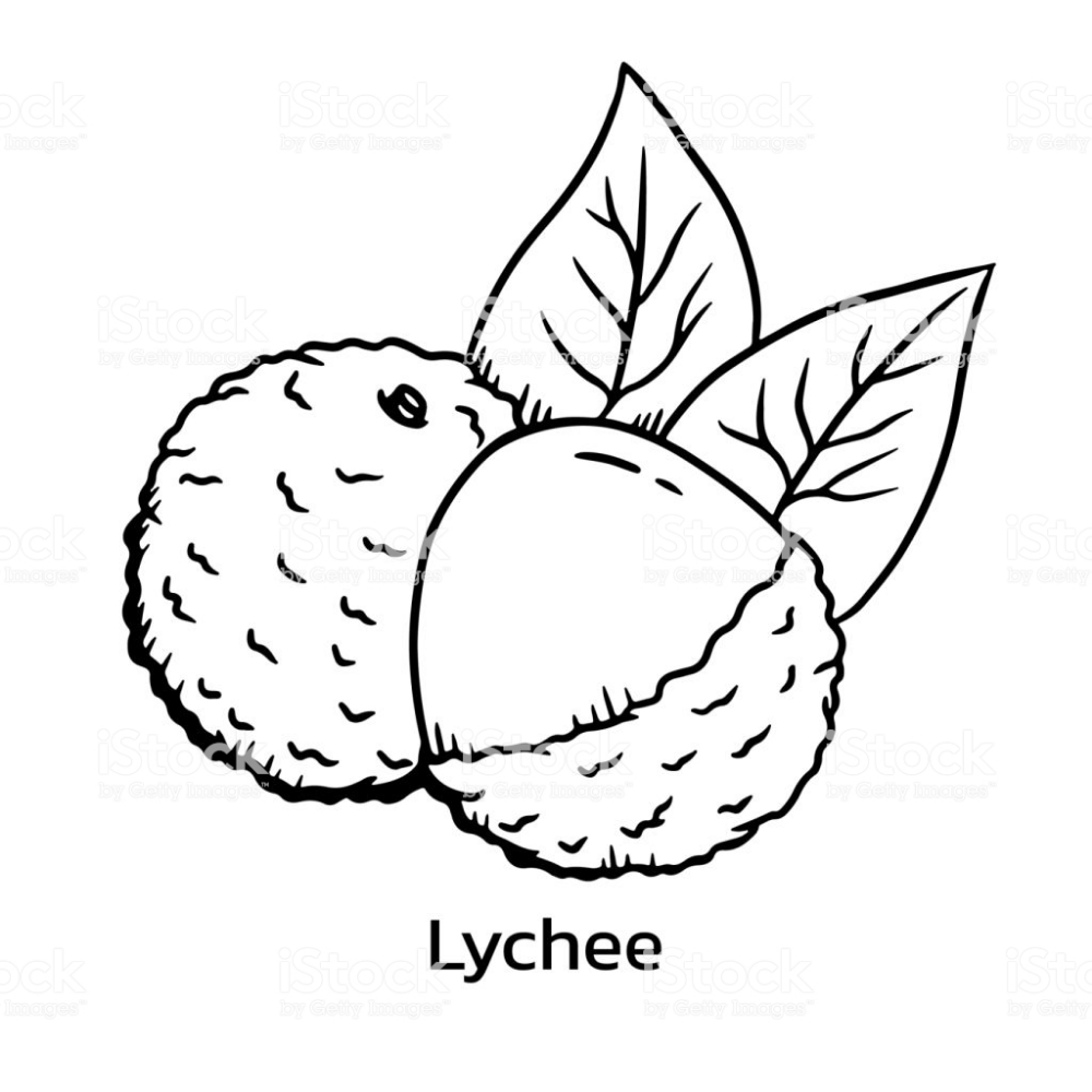 Lychee vector illustration. Litchi line drawing ศิลปะ