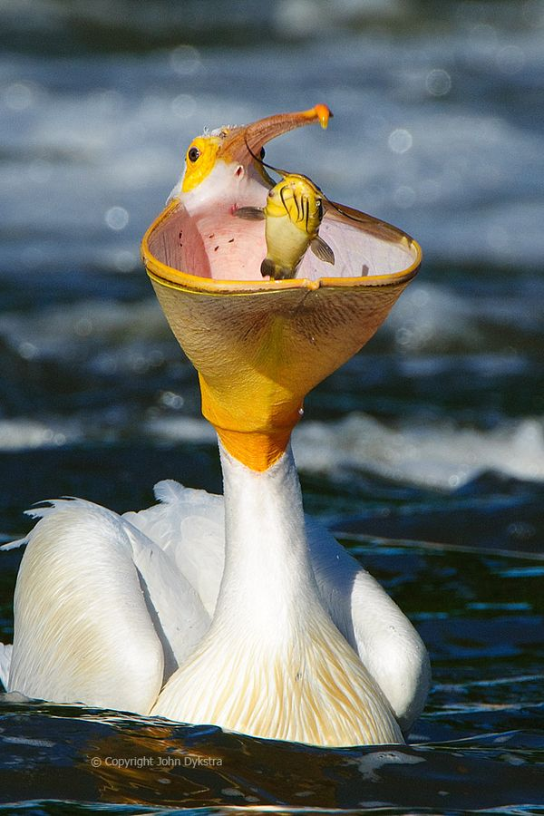 A white pelican with what I believe is a catfish, photographed last spring at Minnesota's Lac qui Parle wildlife management area.